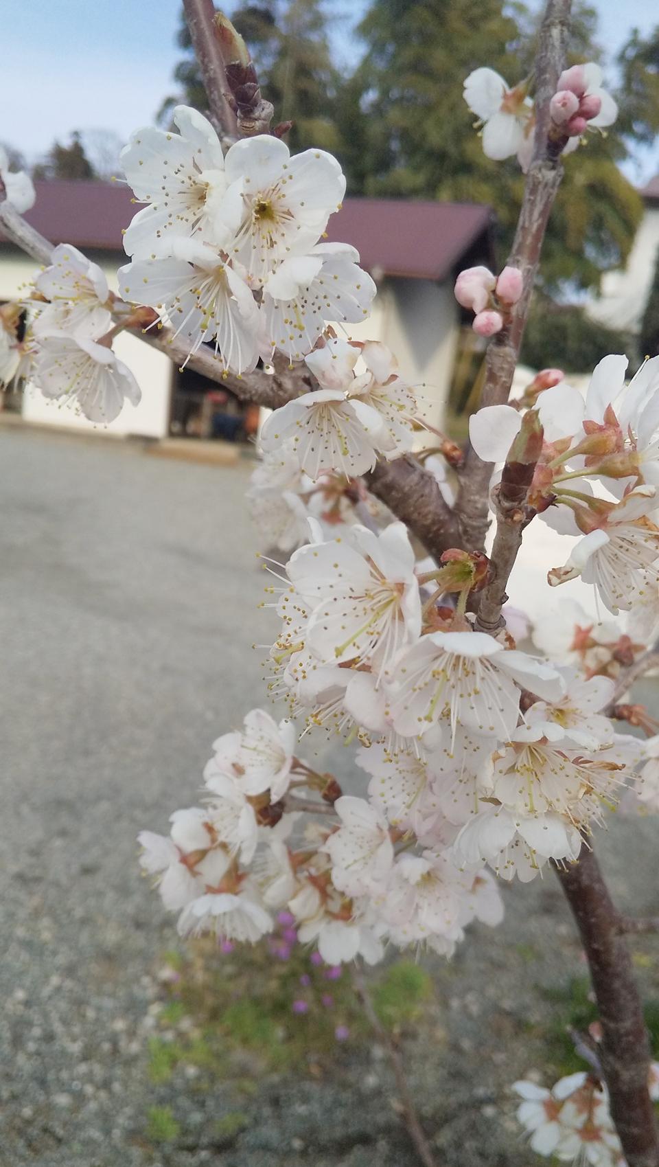 【おすすめいちごスイーツ】老舗゛紀の国屋゛の《いちご大福》と《桜餅》で春を味わう:*_8