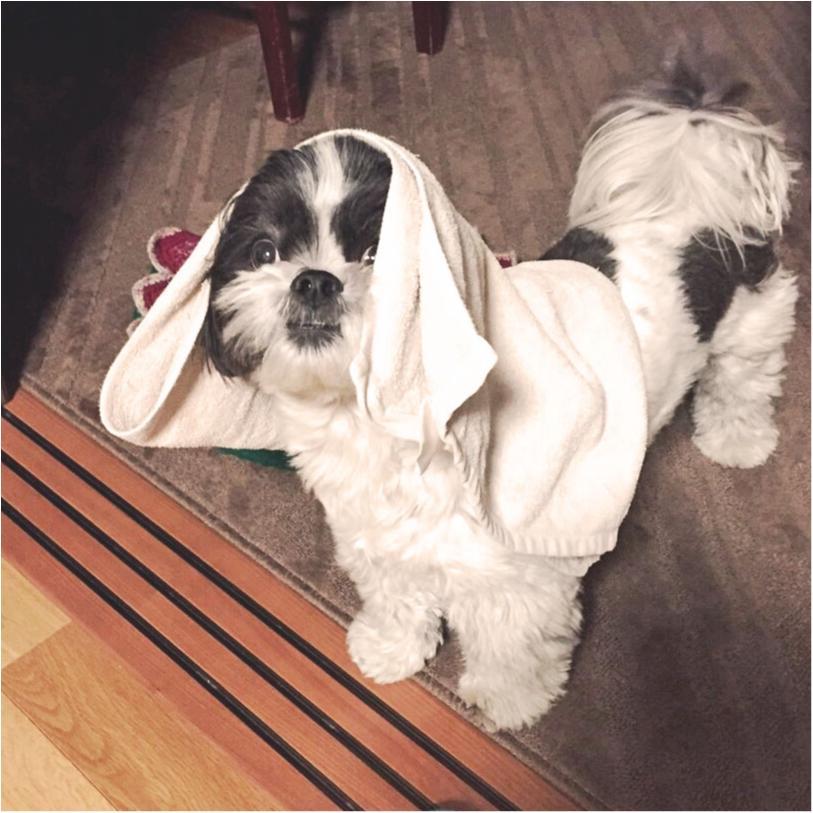 【今日のわんこ】タオルを被ったアイビーくんは、スターウォーズのあのキャラそっくり!?_1