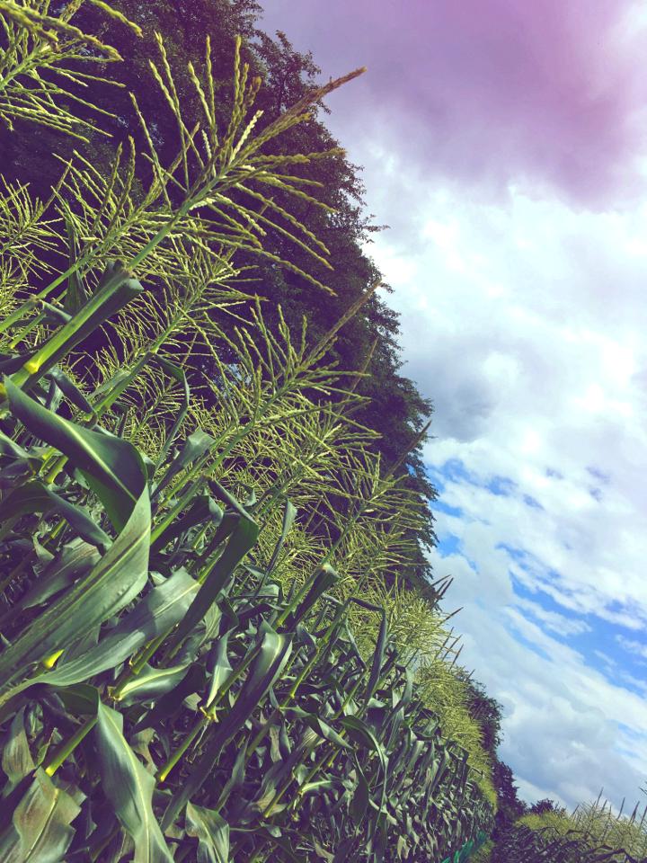 【HISバスツアー】60万本の奇跡!明野ひまわり畑と「清里テラス」&収穫体験ツアー_9