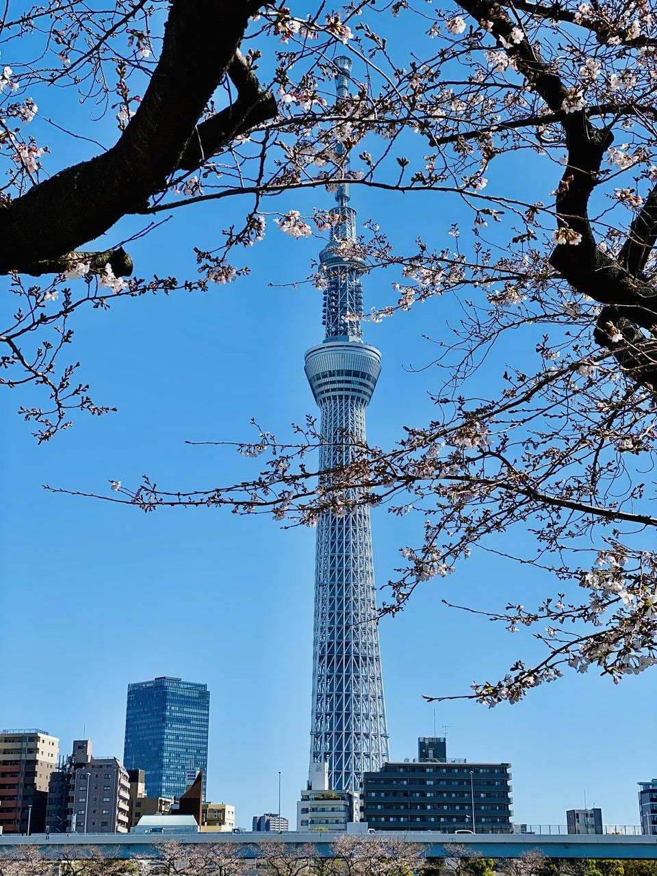【隅田公園】お花見絶景スポット発見!《桜×東京スカイツリー》のコラボが映え度抜群♡_4