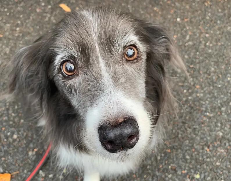 お散歩中、飼い主を見つめる犬。ボーダーコリーのメルちゃん