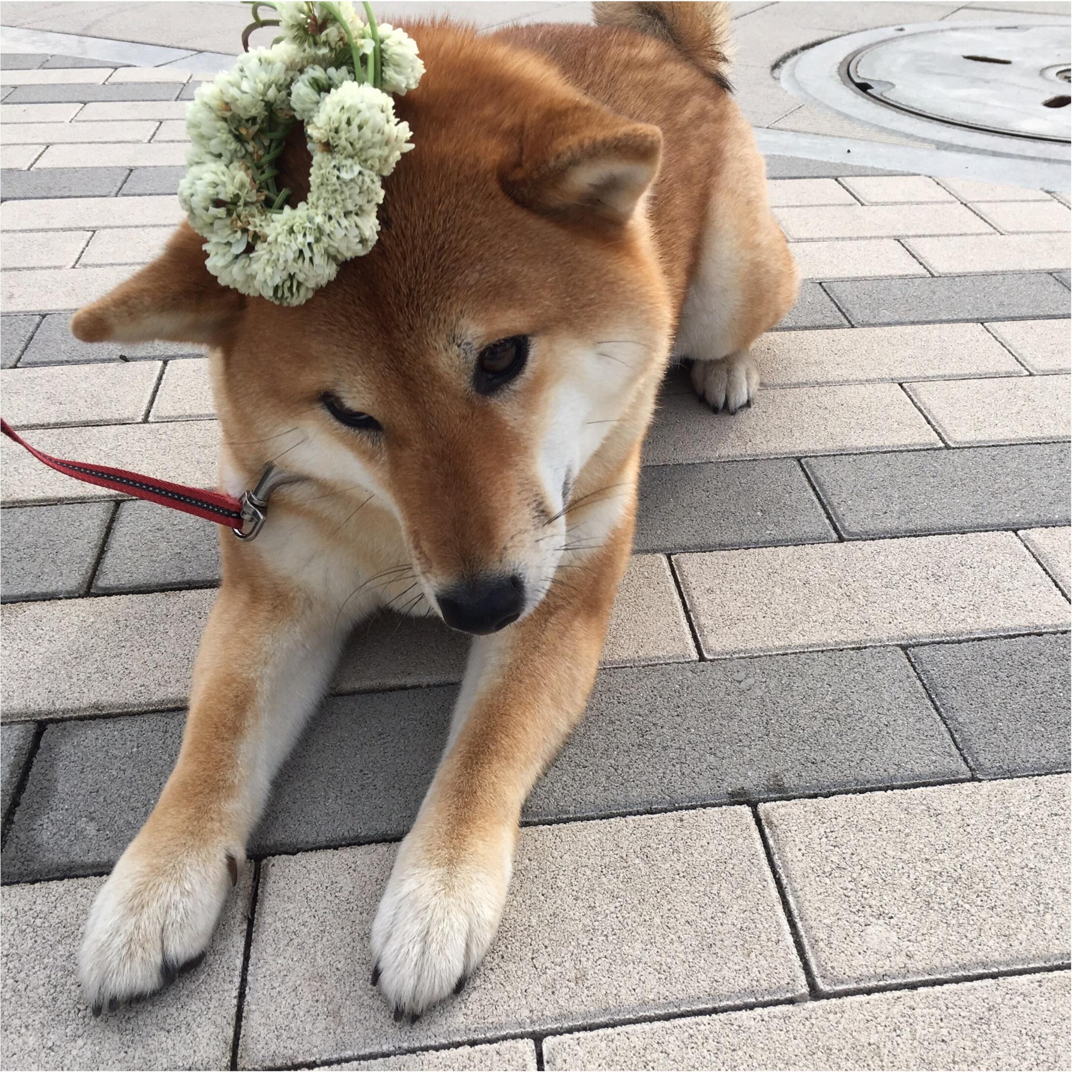 ★柴犬ナッツとお散歩コーデ★_7