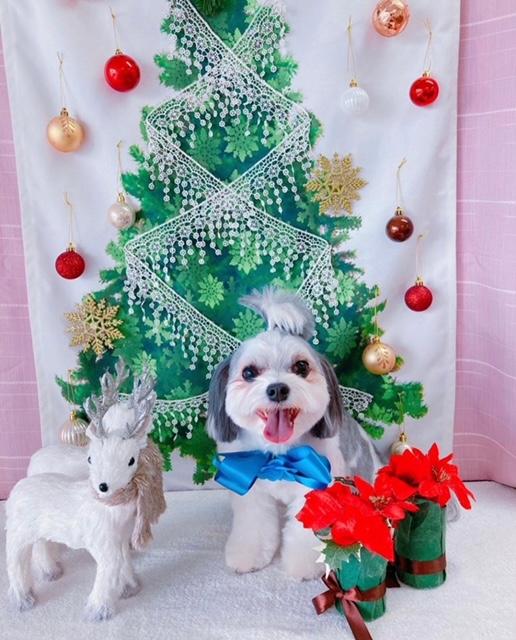 チワワとマルチーズのミックス犬・太郎君がクリスマスをお祝いしている様子