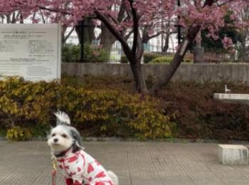 【今日のわんこ】河津桜の下でパシャリ!太郎くん