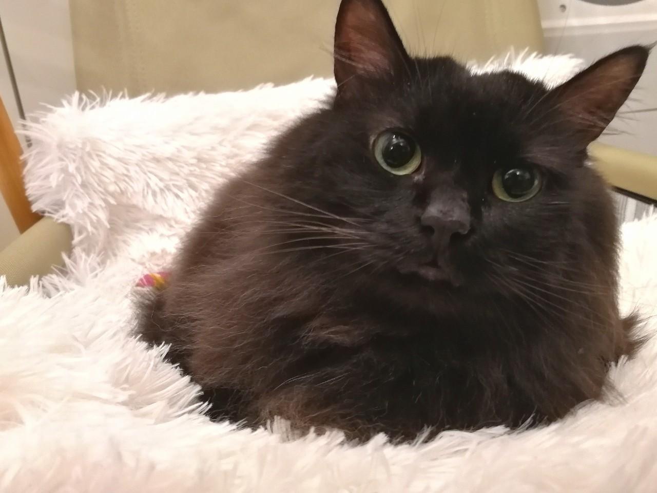 冬毛のゆらちゃんがもふもふの猫用クッションに座っています