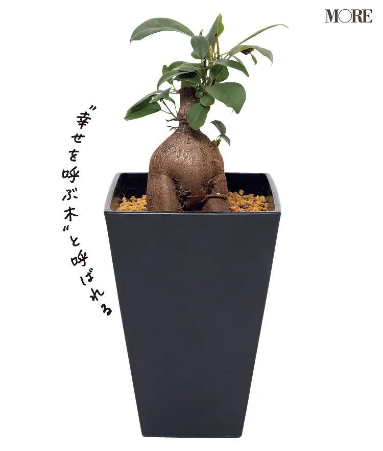 初心者におすすめの植物ガジュマル