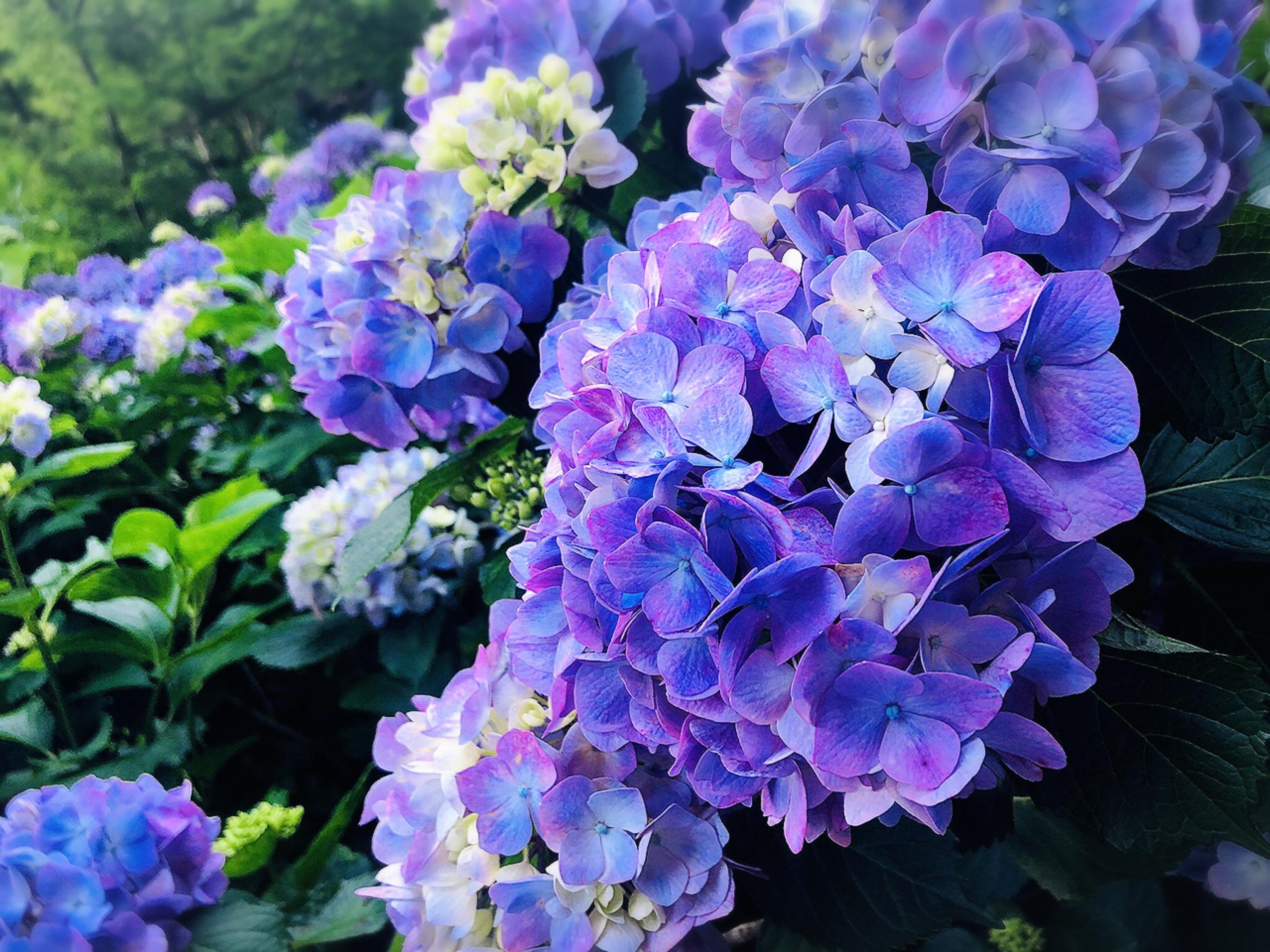 【#静岡】シーズン真っ只中♡4000株の満開のアジサイが可愛すぎる癒し空間へ行ってきました❁_9