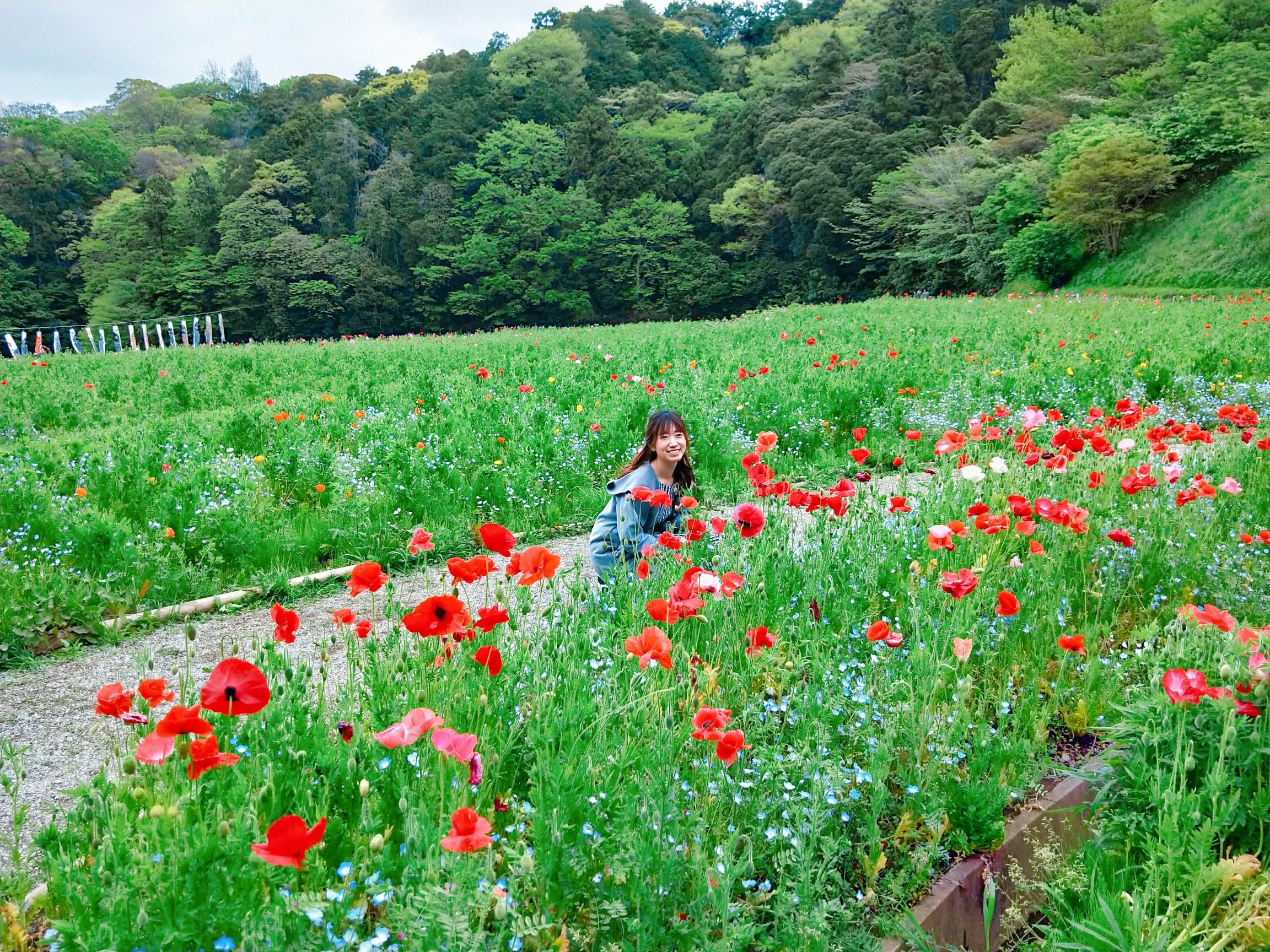 神奈川県でも見られる!ネモフィラ✿ポピー祭りも開催中!_4