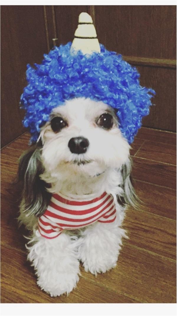 【今月のわんこ】チワワとマルチーズのミックス犬・太郎くんのコスプレ5選! ハロウィンの参考にしてみて♬_1