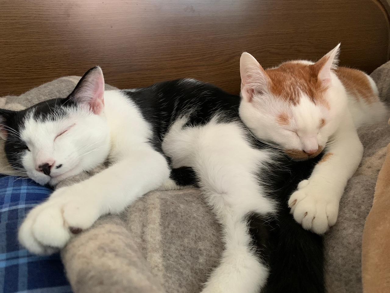 横に並んで眠る猫・ルウくんとラビくん