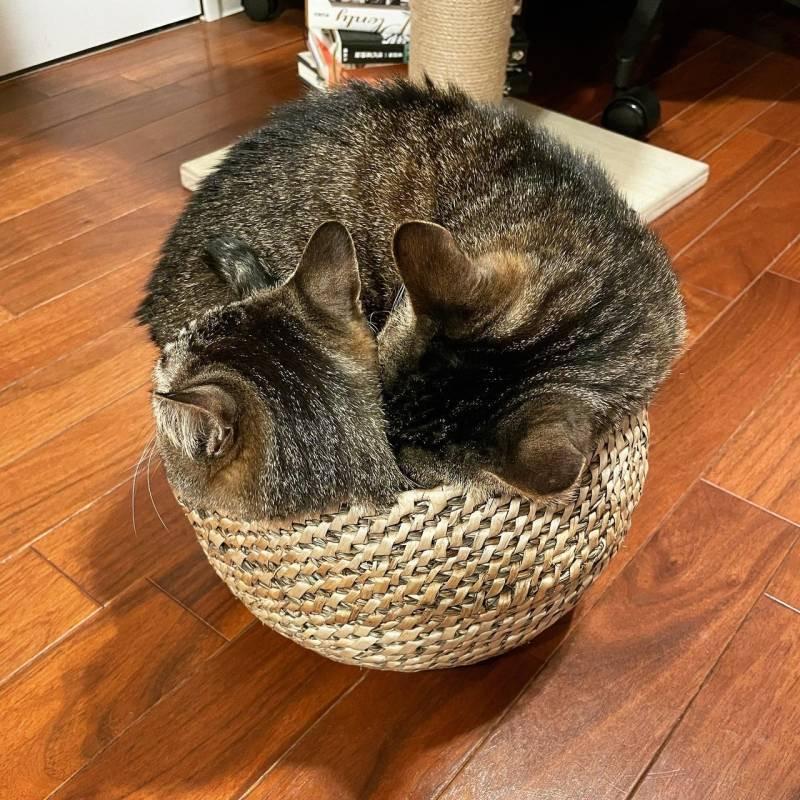 1つのカゴに一緒に入りたい2匹の猫・がんくんとサンちゃん