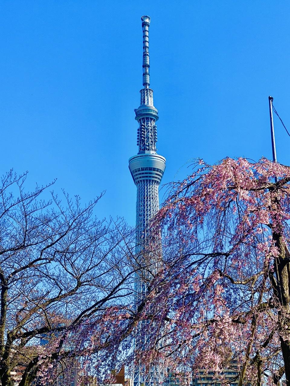 【隅田公園】お花見絶景スポット発見!《桜×東京スカイツリー》のコラボが映え度抜群♡_3