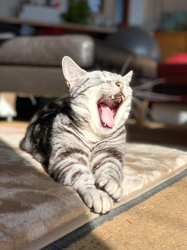 大あくびをする猫・ソラくん
