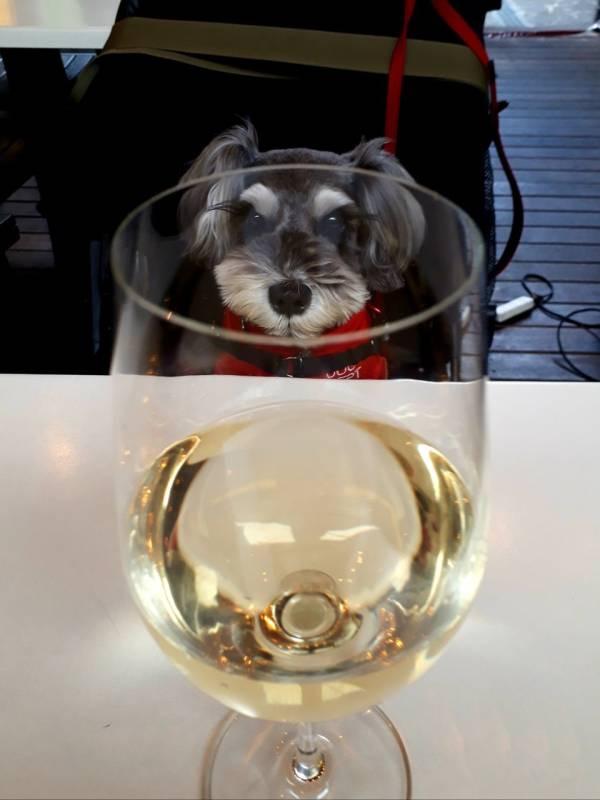 テーブルに置かれた白ワインを見つめる犬・サクラちゃん
