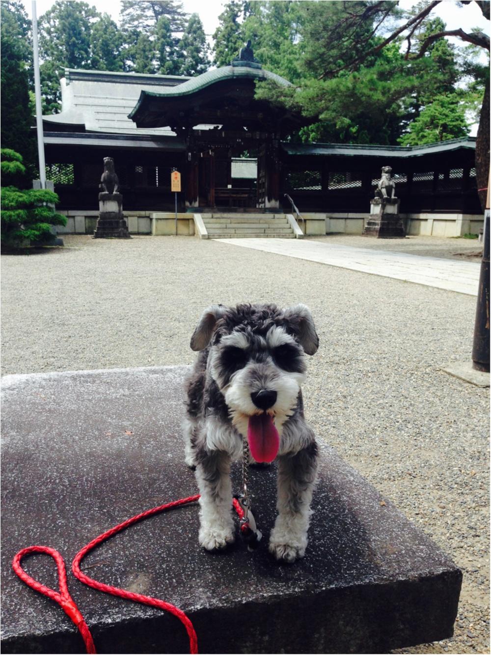【今日のわんこ】お出かけしてきました! サクラちゃん、上杉神社に行くの巻_1