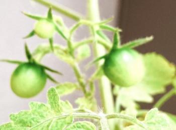 【ゆとり農園 夏の収穫へラストスパート】最初はミニトマト