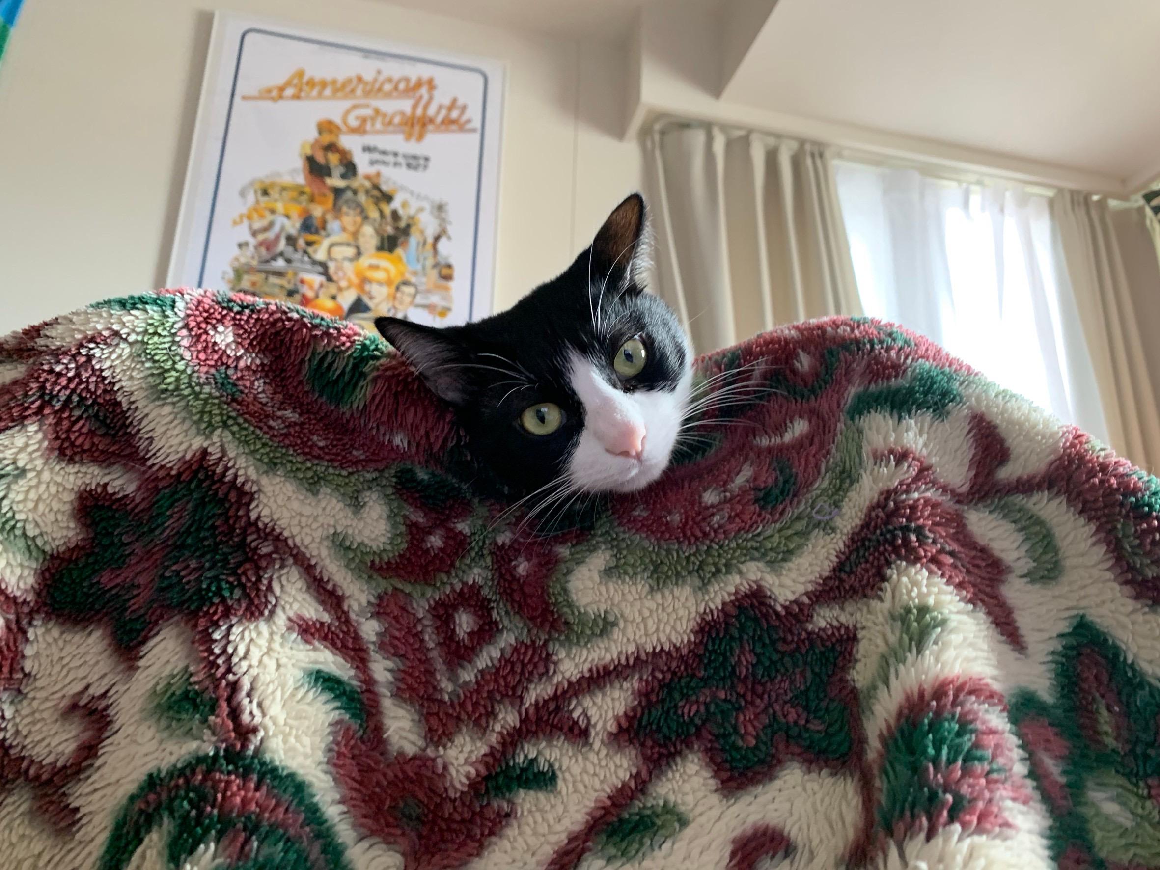 【今日のにゃんこ】毛布の上からひょっこり♡ ルウくん_1