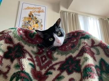 【今日のにゃんこ】毛布の上からひょっこり♡ ルウくん