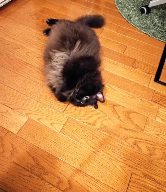 床に寝転ぶ猫・ゆらちゃん