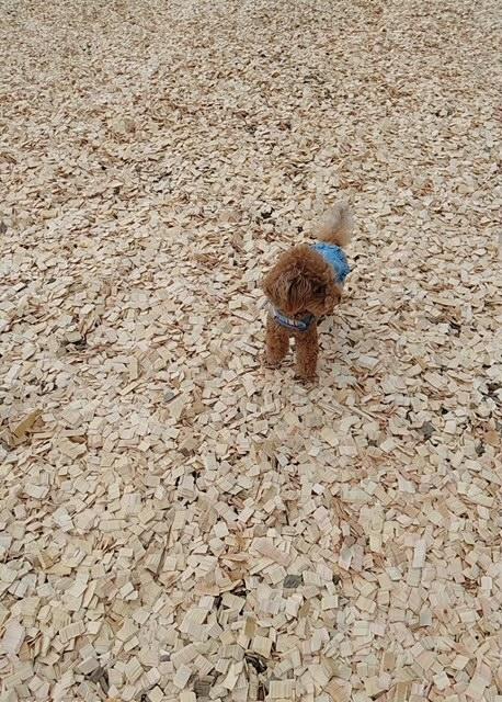 木のチップが敷き詰められているドッグランにきた犬・テテちゃん