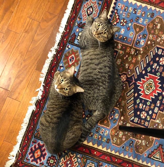 家のじゅうたんで同時に飼い主を見上げるサンちゃんとがんくん