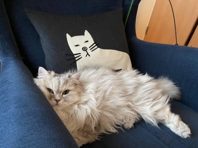 クッションに描かれた猫の表情をマネする猫・ココンちゃん