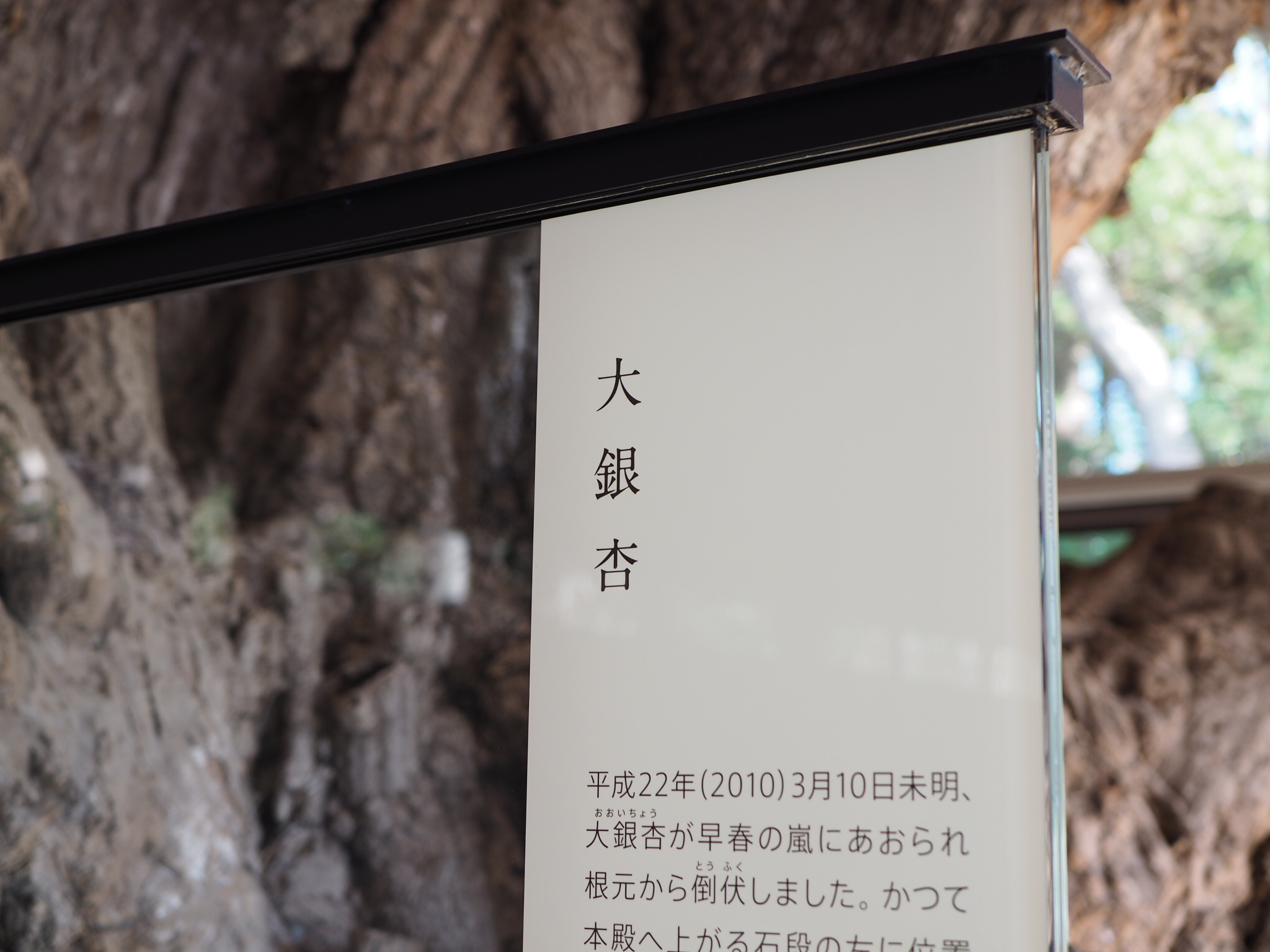 【#秋の鎌倉さんぽ】紅葉の鶴ヶ丘八幡宮♡ あの銀杏に会えるカフェ。_8