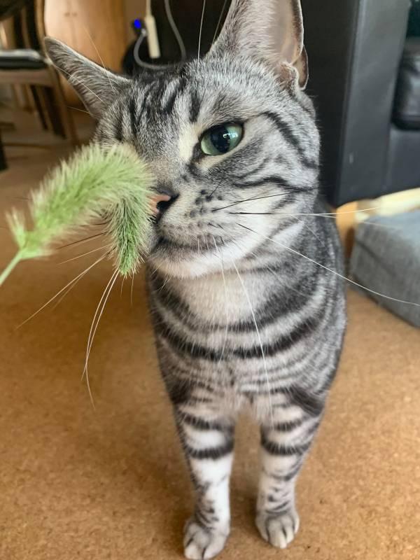 猫じゃらしで遊ぶ猫・ソラくん