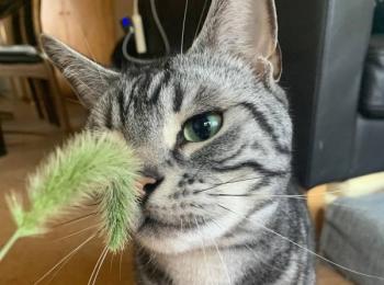 【今日のにゃんこ】猫じゃらし愛がすぎる! ソラくん