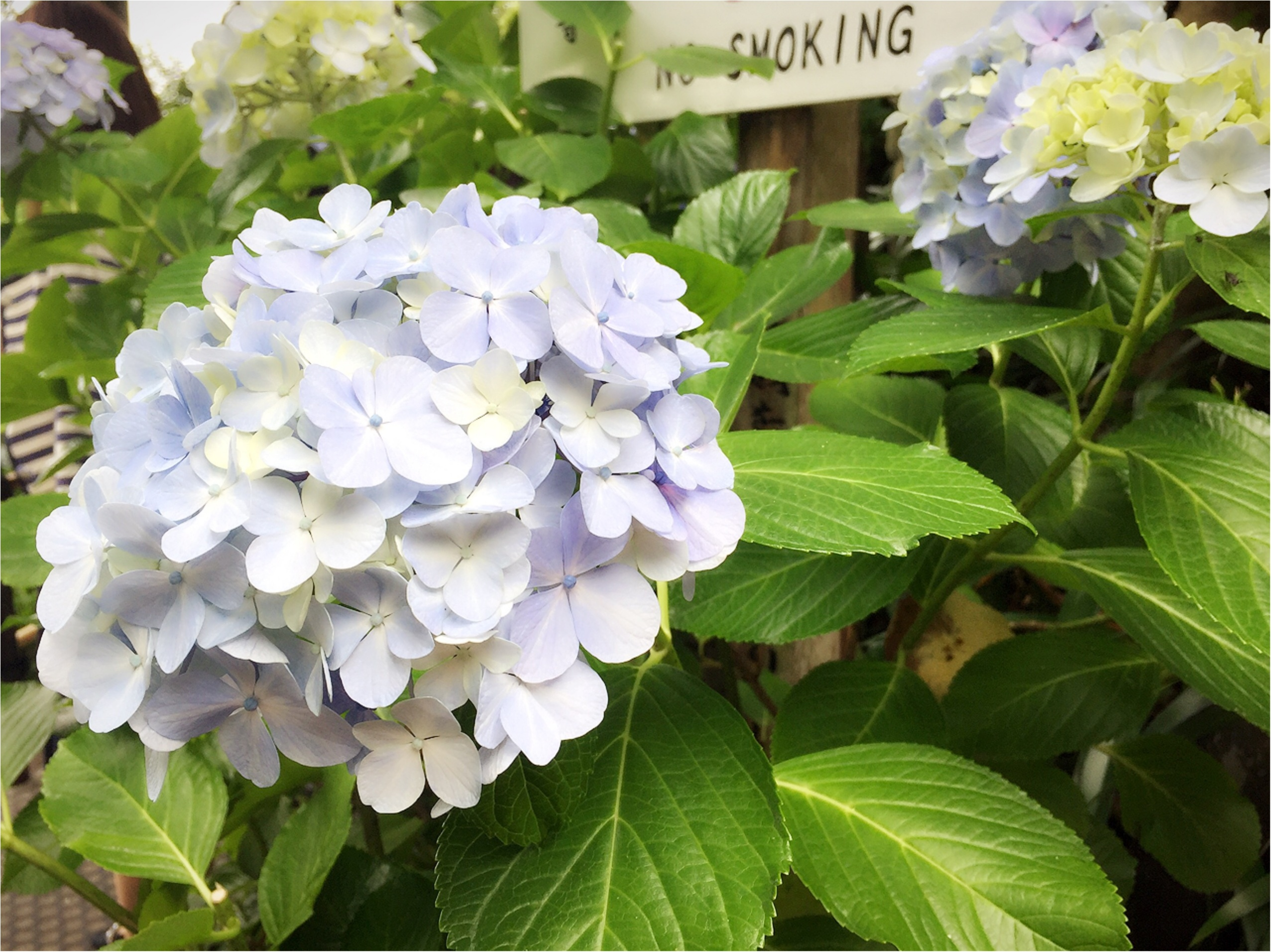 週末鎌倉さんぽ。今が見頃!紫陽花を見に長谷寺へ行ってきました♡*_6