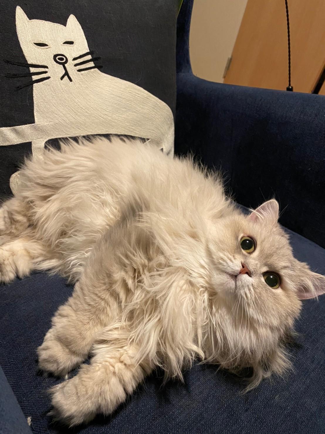 ソファを独り占めする猫・ココンちゃん