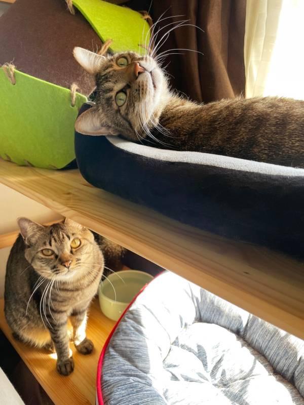 猫型の爪研ぎに2匹仲良く乗っている雑種猫・がんくんとサンちゃん