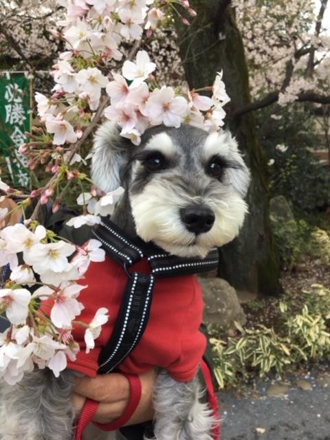 【今日のわんこ】サクラ×桜♡ 桜の季節を楽しんだサクラちゃん_1