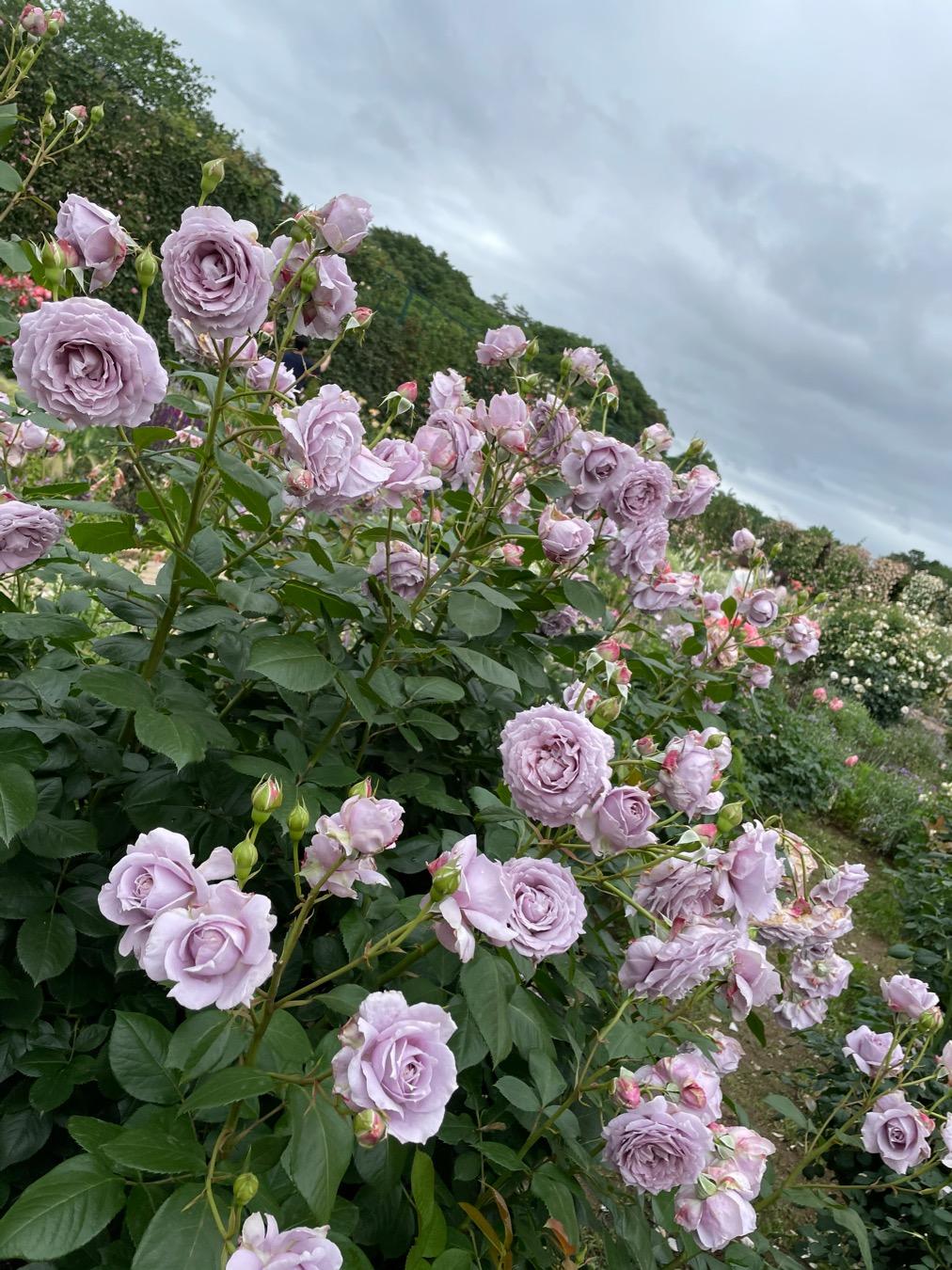 【薔薇満開】あしかがフラワーパークに行ってきました_6