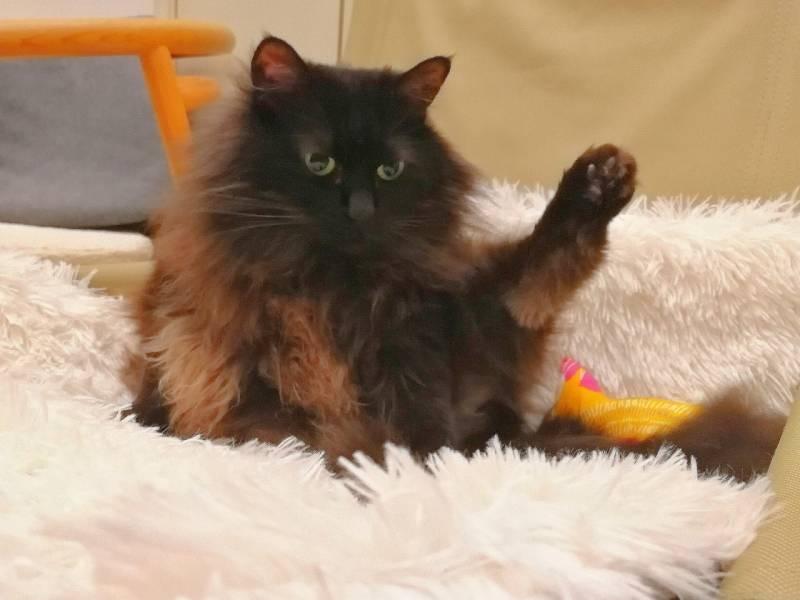 片足をピンと伸ばしている猫・ゆらちゃん
