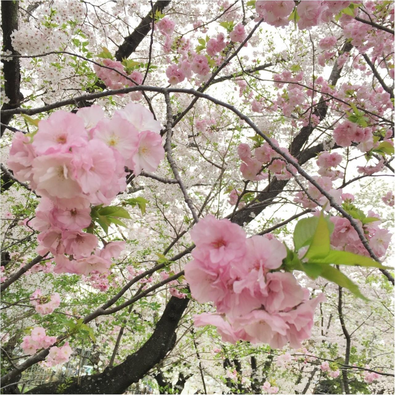 《公園はしご旅》in 福岡 今が見頃!とっておきの桜スポットをご紹介!!_1