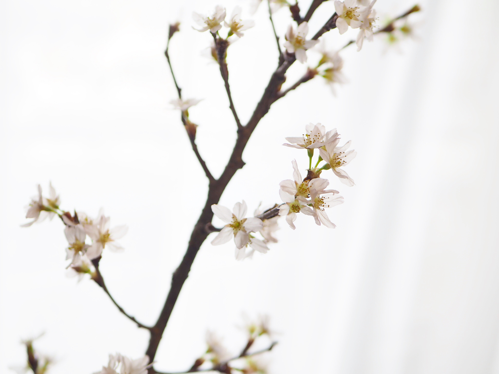 【おうちでお花見♡】AOYAMA FLOWER MARKETの桜が咲きました♩_7