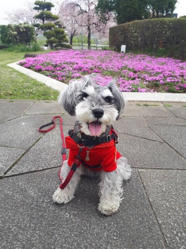 ピンクのお花を背景にして飼い主を見つめる犬・サクラちゃん