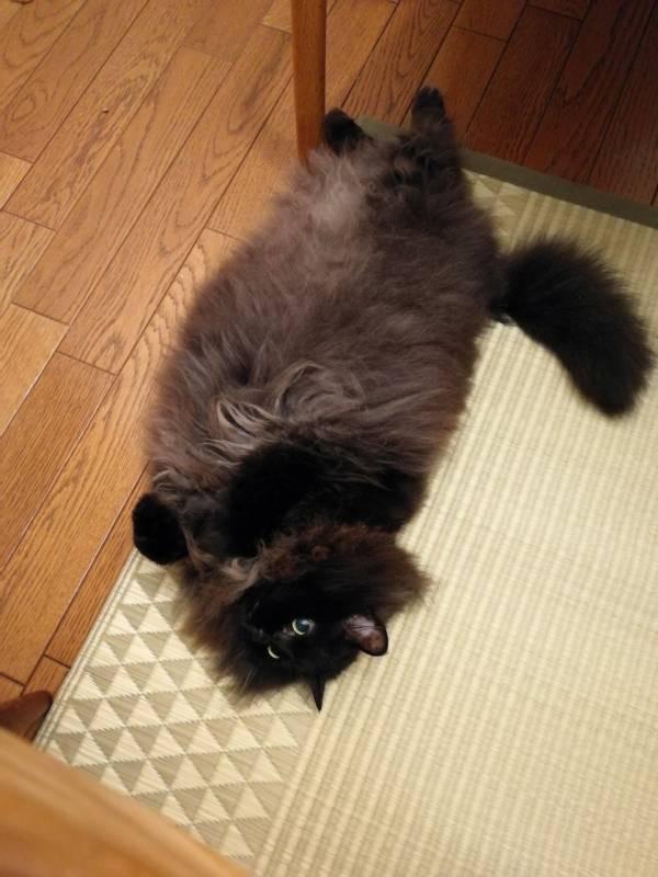 ラグの寝心地を確認する猫・ゆらちゃん