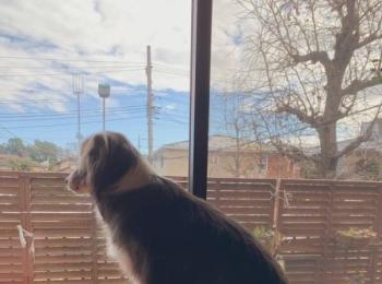 【今日のわんこ】外を眺めるメルちゃんが想うことは?