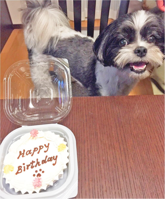 【今日のわんこ】ケーキでお祝い♡ アイビーくんのバースデーの思い出フォト♪ _1