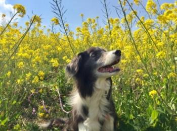 【今日のわんこ】菜の花畑で映えまくりな、メルちゃん