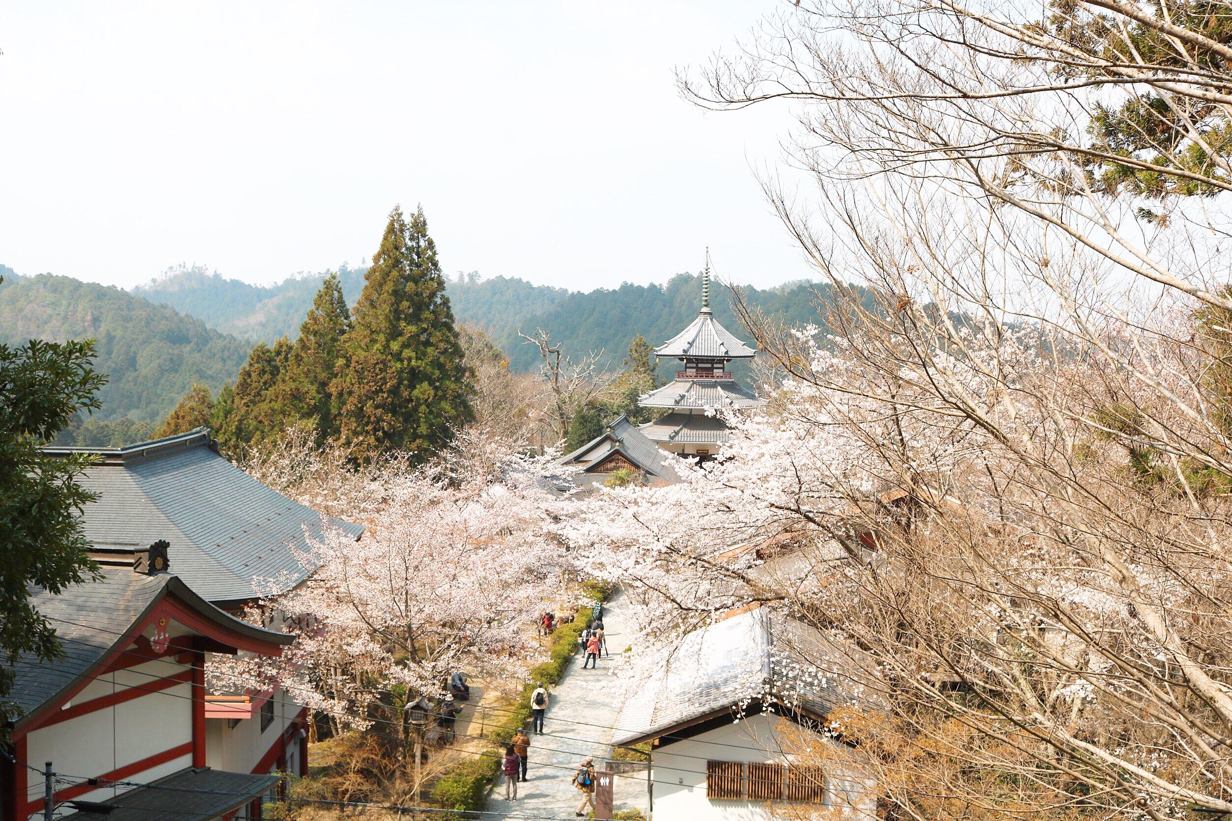平成最後の桜です_1