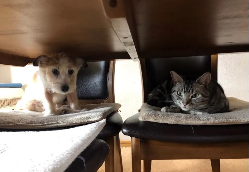 お友達の犬と机の下、椅子の上で話す猫・ソラくん
