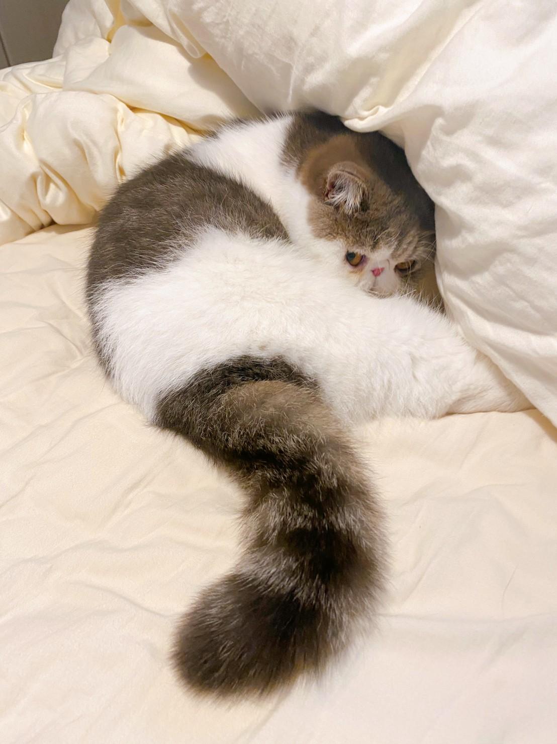 ベッドの上で悪いことを企んでいる猫・こたつくん