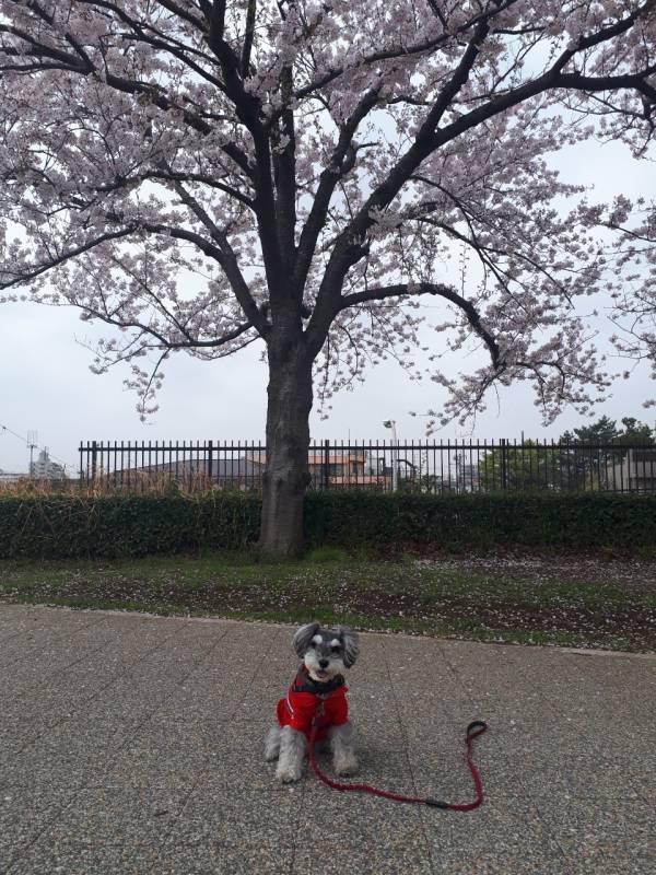 桜の木の下で記念撮影をする犬・サクラちゃん