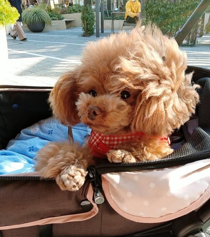 カートに乗っている犬・テテちゃん
