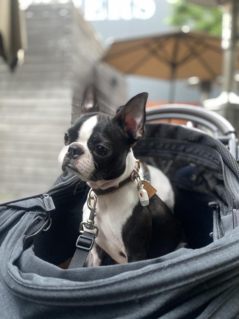 カートに座りアンニュイな表情をする犬・へちまちゃん