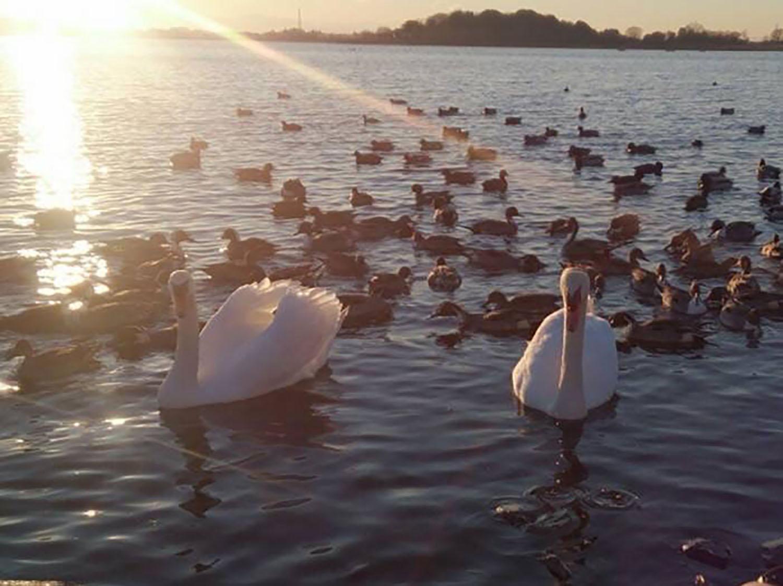 多々良沼の白鳥