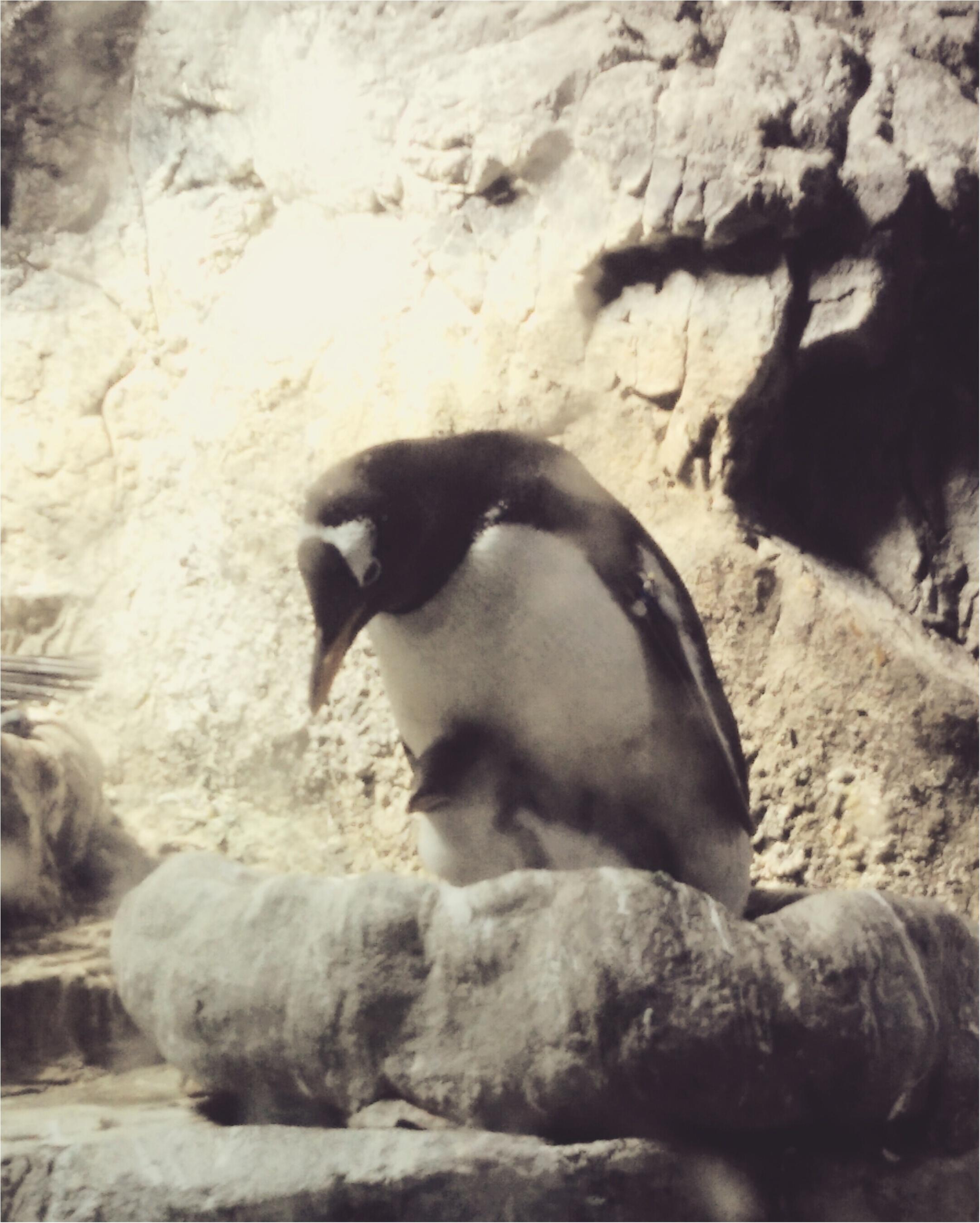 とっても可愛い!【海遊館】でペンギンの赤ちゃんが生まれましたよ!!(443 まゆ_2